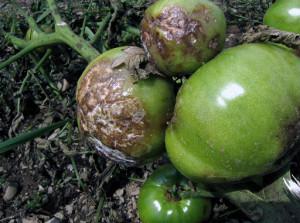 Фото фитофторы у томата, moyadacha.net